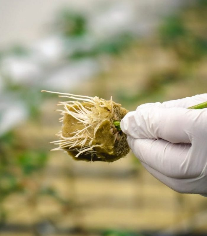 Cannabis Roots May Have Benefits to Modern Medicine