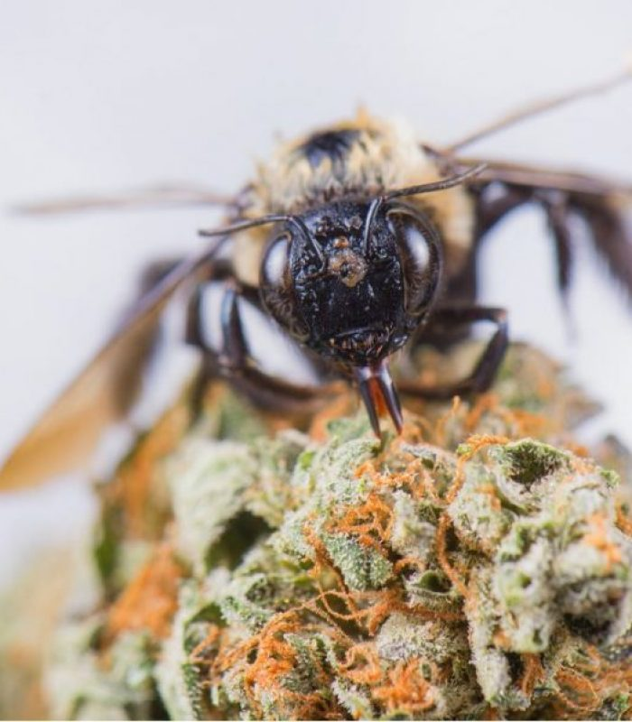 Benefits Of Hemp Recognized By Bees