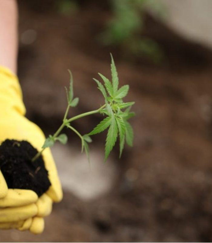 Hemp Set To Create The Most Jobs Of All In Cannabis Industry