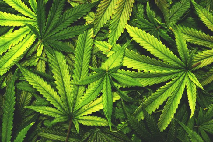 How Can You Use Cannabis Leaves?