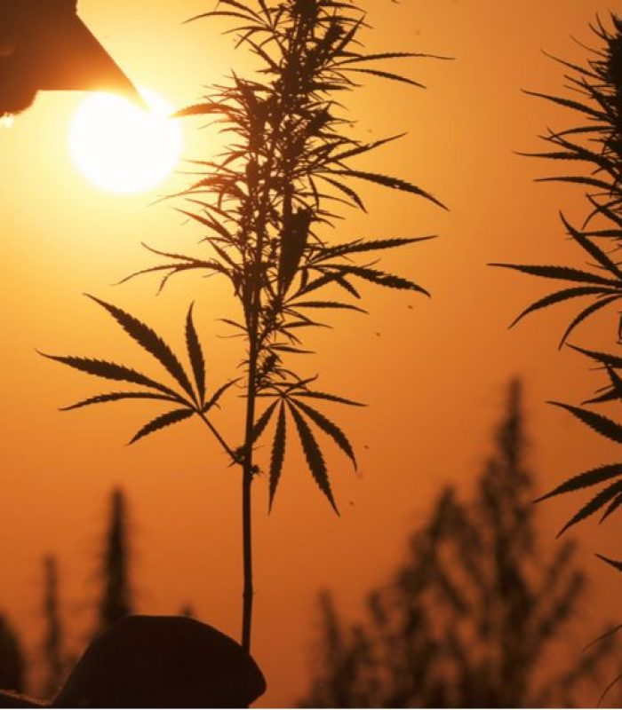 Fields of Hemp Are Completely Destroyed For 'Running Hot'