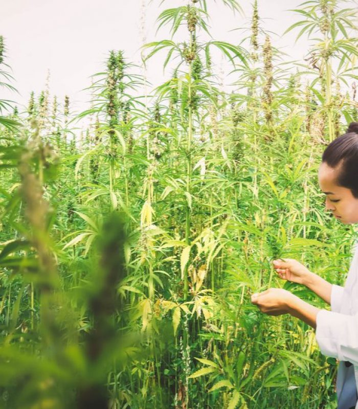 Lab Testing Cannabis Gives Peace Of Mind