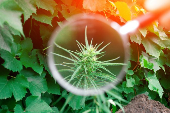 What are Trichomes?