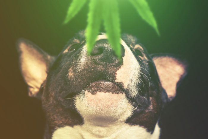 The Endocannabinoid System in Animals is Different than in Humans