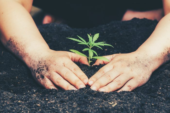 The Best Cannabis Chemovar For Every Climate