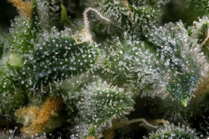 How to Max Out the Terpenes in Your Next Grow