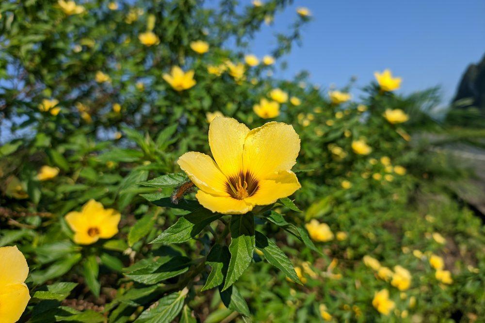 Field of wild Damiana - tiny yellow flowers